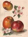 APPLES. Braddick's Nonpareil; Belle de Pontoise; King of Pippins. WRIGHT, 1892